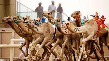 Ultima fita la arabi: curse de camile cu roboti pe post de jochei. FOTO