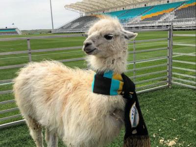 Ole, ole, behehe! Un club din America cheama animalele la stadion: intrarea libera pentru fermieri!