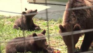 """""""Primiti ursul sau il impuscam?"""" Cu un singur gest, turistii condamna animalele pe viata"""