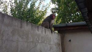 Informatii de ULTIMA ORA in cazul maimutei evadate. Perchezitii la ferma FRATILOR CAMATARU. Ce au descoperit anchetatorii