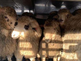 BBC anunta ce s-a intamplat cu cele 180 de oi salvate de pe nava scufundata in noiembrie in Romania! Unde au ajuns