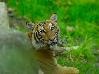 Alerta la New York! Un tigru de la gradina zoologica are coronavirus! De unde a luat boala si cum se simte felina