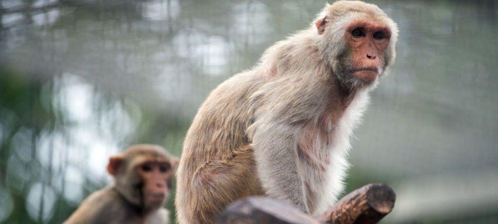 Sase maimute care au primit vaccinul pentru Covid-19 au devenit imune la boala! Specia este cea mai apropiata de oameni