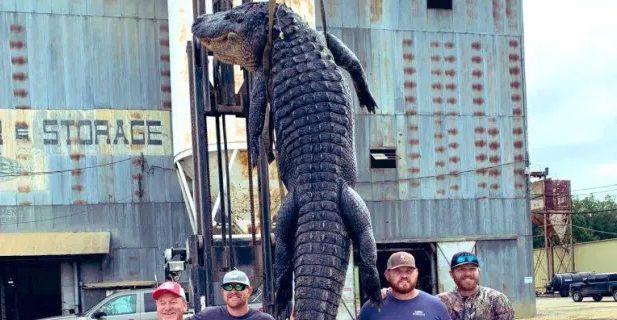 CAPTURA SECOLULUI: 4 barbati au prins un ALIGATOR URIAS de 4 metri si 400 de kilograme. Reptila s-a aparat cu inversunare