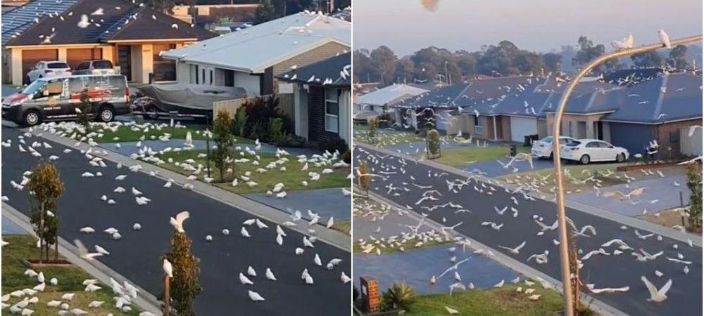 Clipe de cosmar pentru locuitorii unui oras! Mii de pasari au invadat un cartier intreg, fortandu-i sa ramana in case! Imagini incredibile