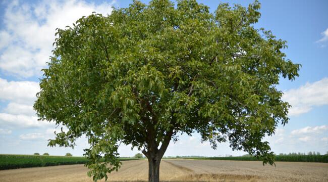 Risti o amenda de pana la 10.000 de lei daca tai acest pom, chiar daca este in curtea ta